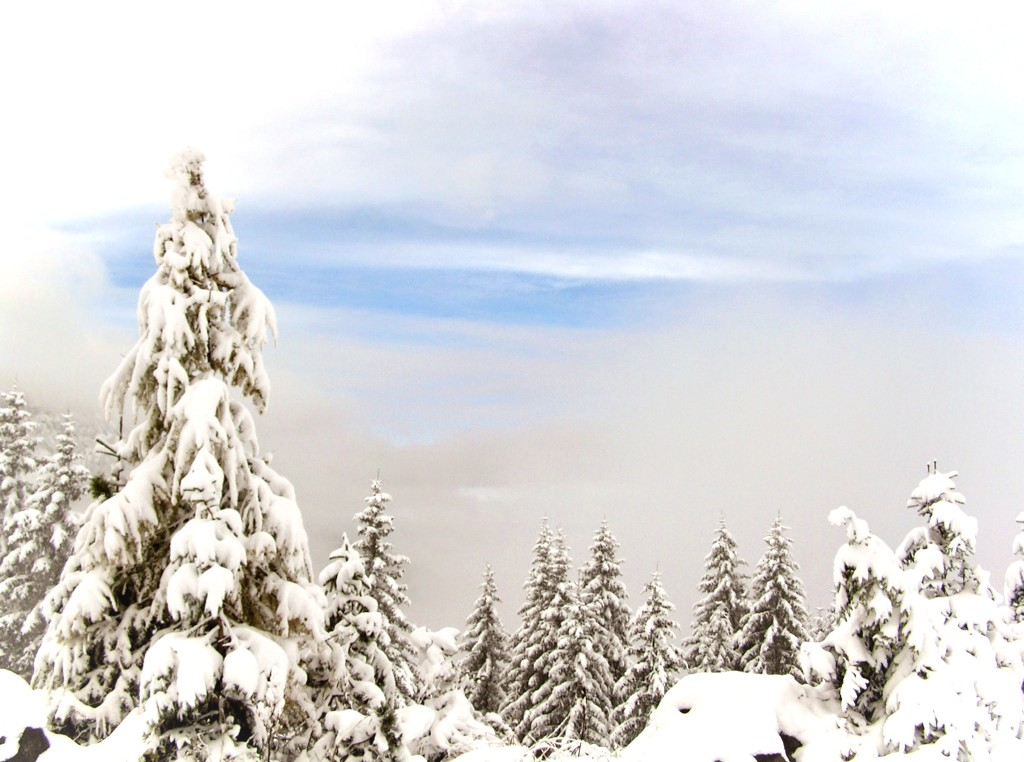Photo of pine trees covered in a foot of snow