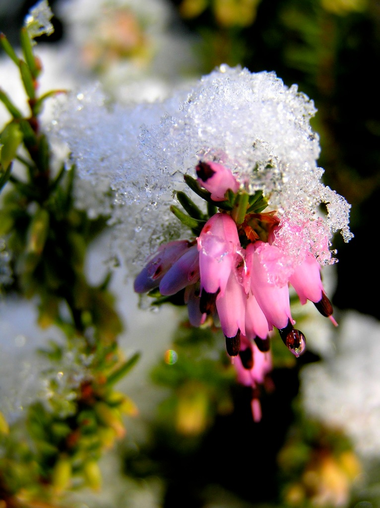 close up of heather blooms covered in snow