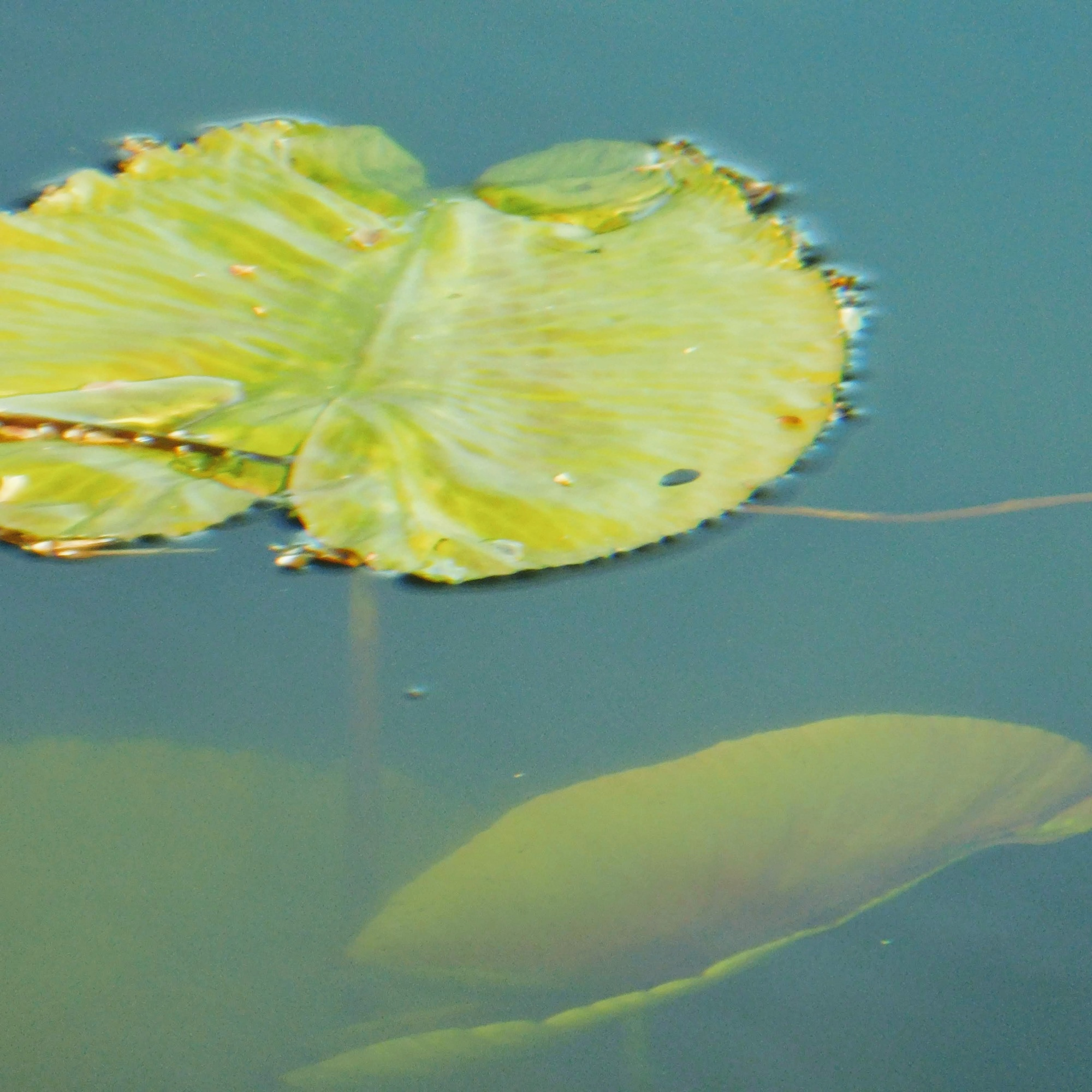 water lily leaves emerging from murky water