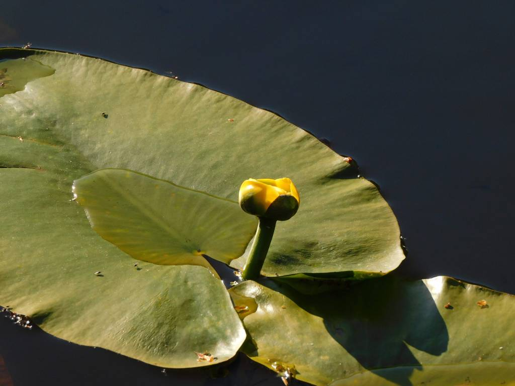 waterlily emerging between two leaves
