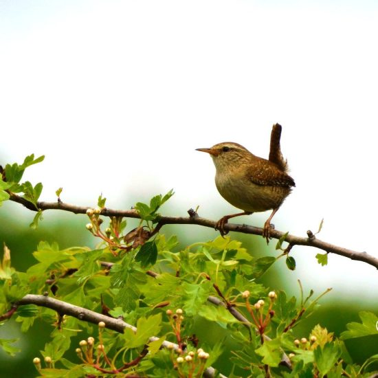 wren sitting on a hawthorn branch
