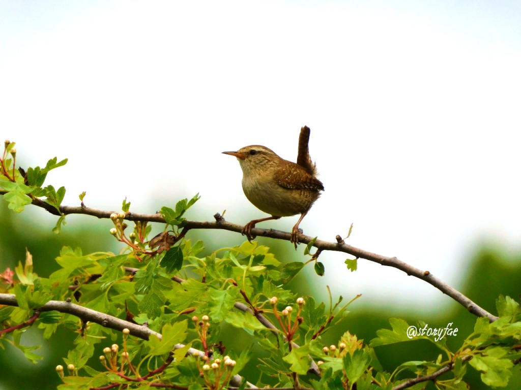 Wren on top of a hawthorn branch