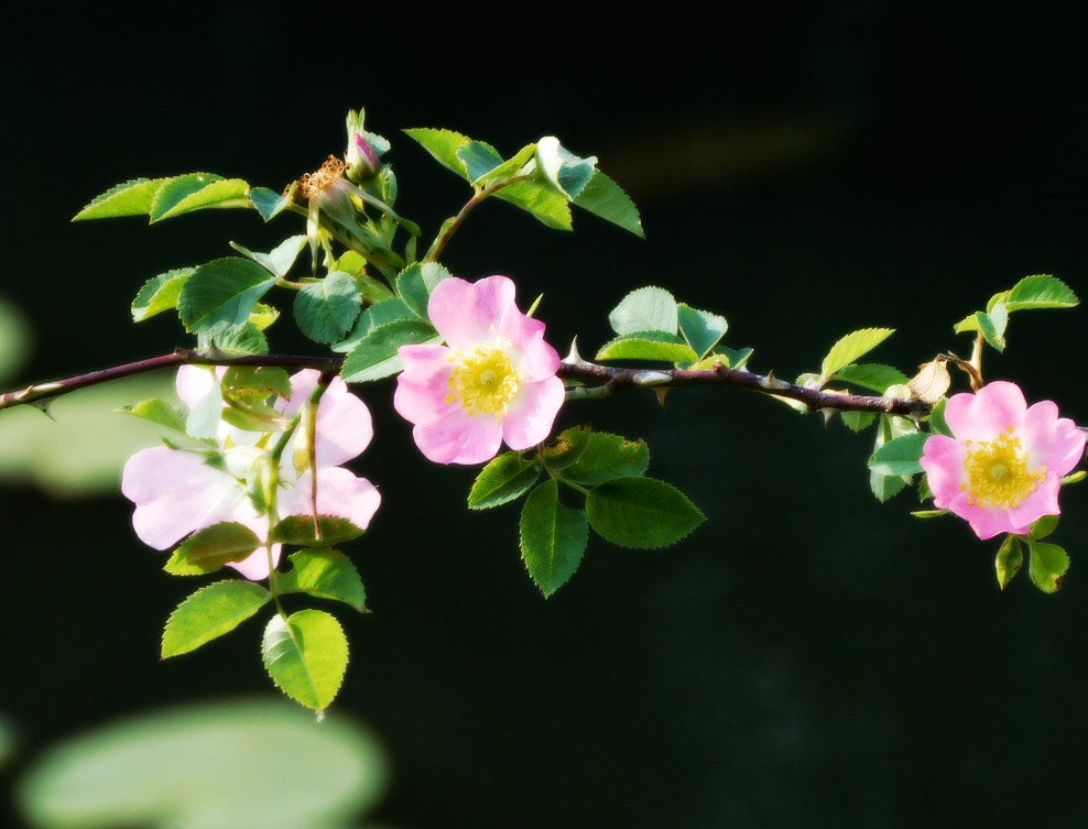 blooming branch of dog rose