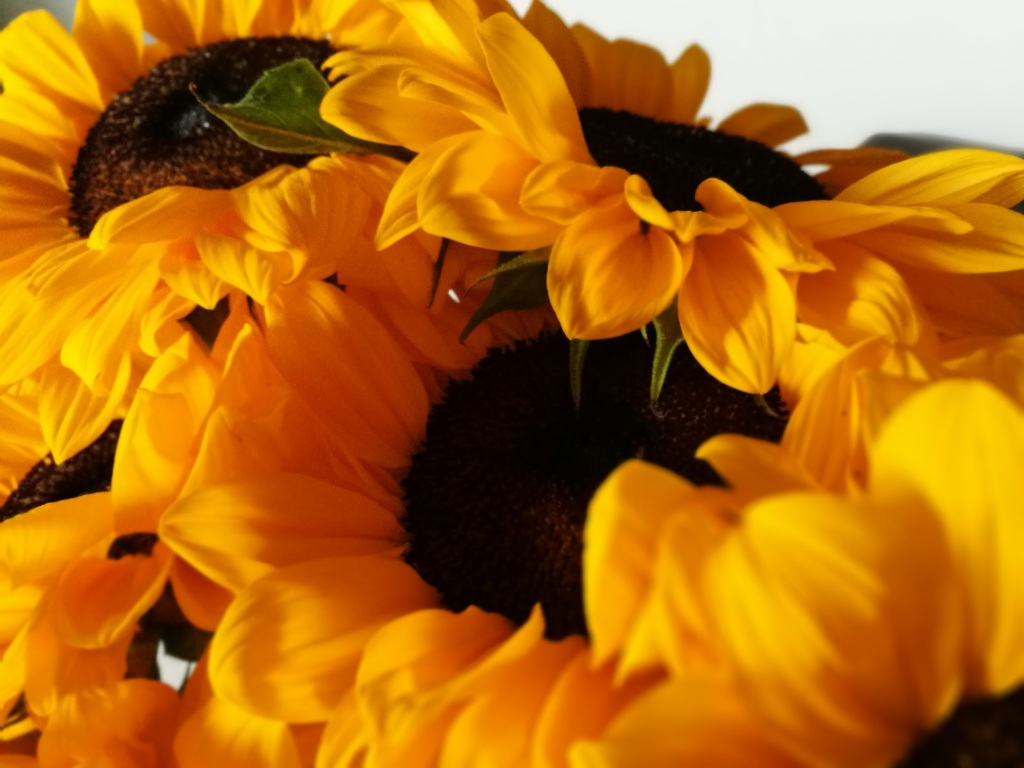 Close up photo of sunflowers