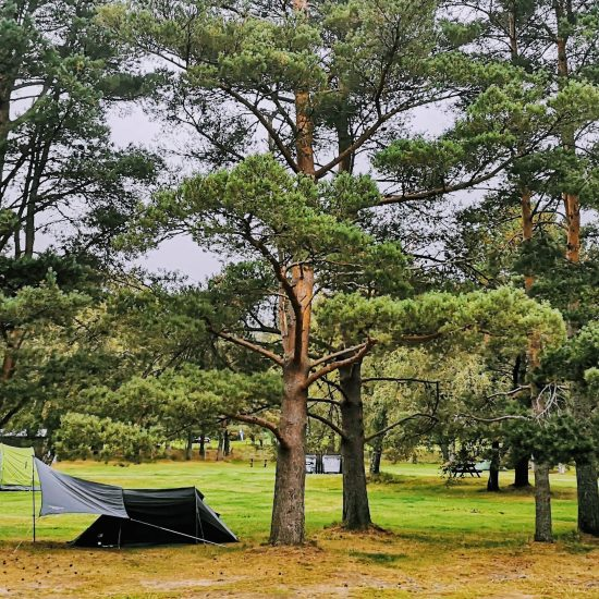 small tent in a pine tree grove
