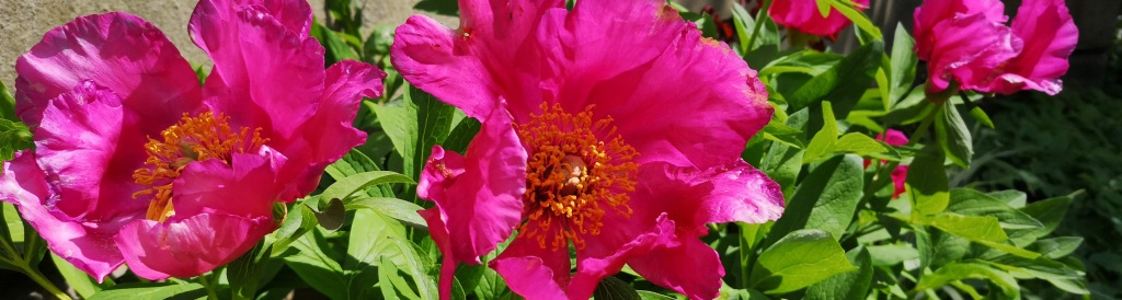 the image is wild pink peonies