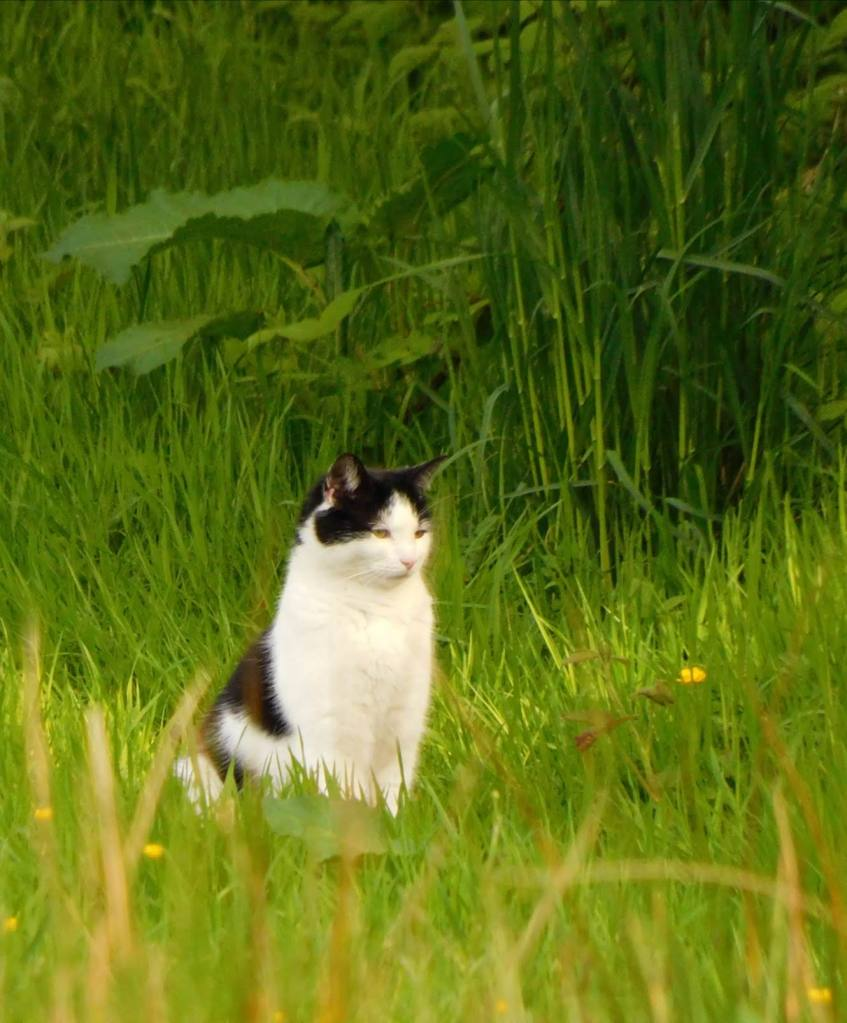 a very pretty (and she really looks as if she knows it!) kitty cat sitting in the green meadows