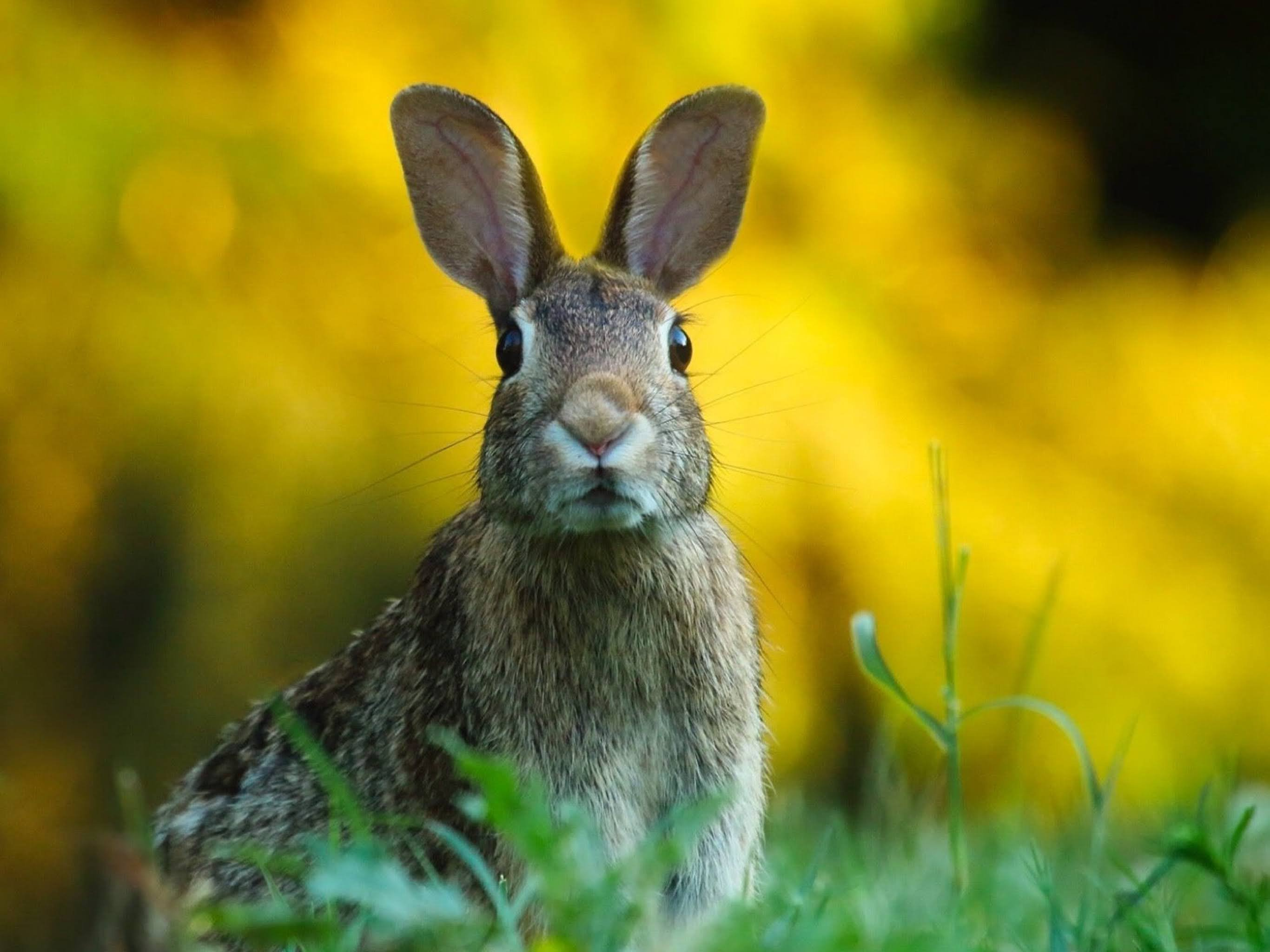 Spring rabbit sitting in a green field, the background are blurred yellow flowers