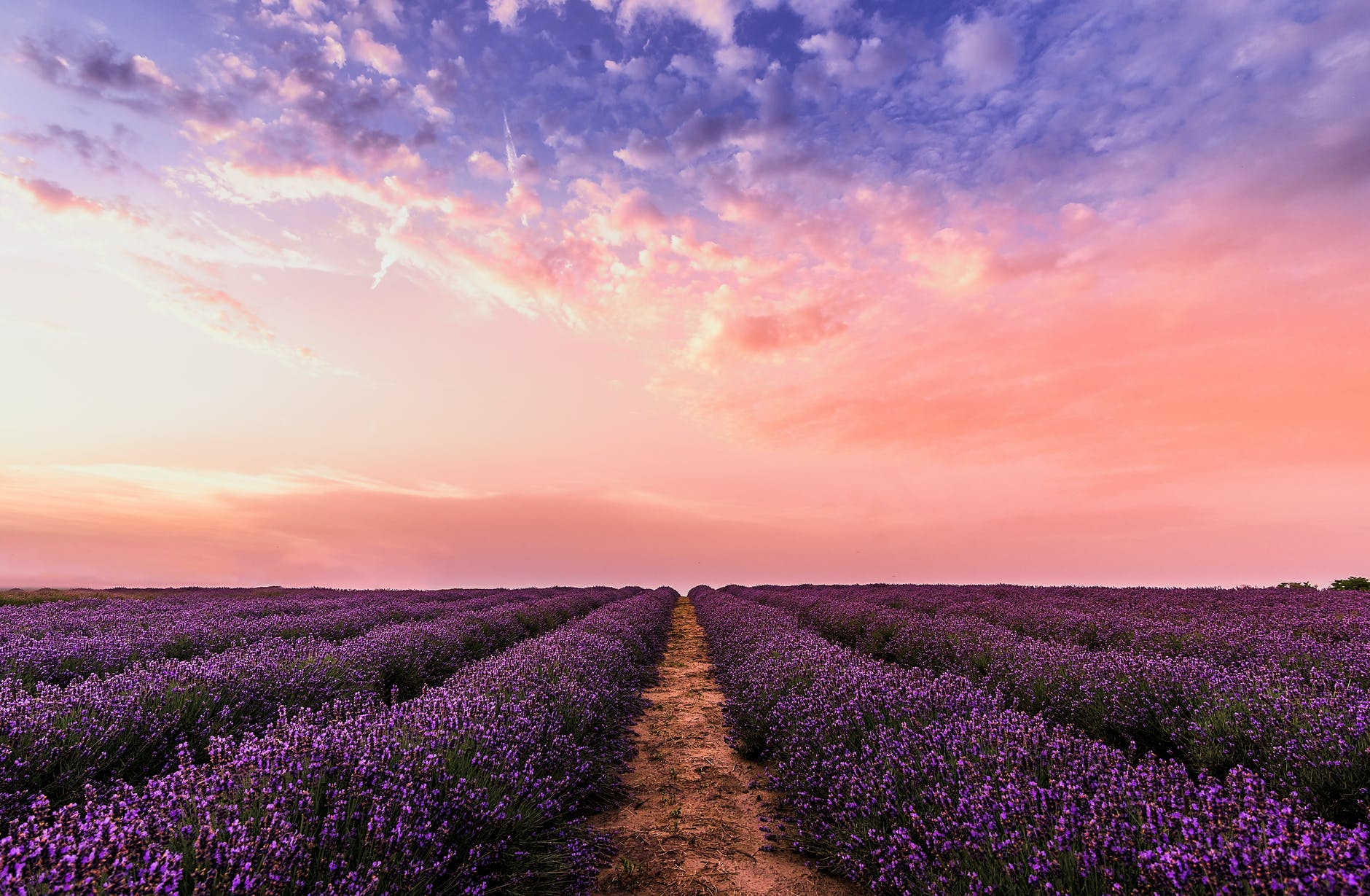 This image shows a Lavender field in sunset